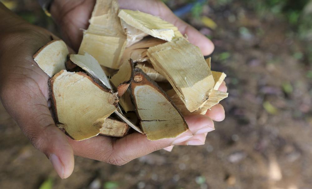 Korzeń Eurycoma Longifolia Jack